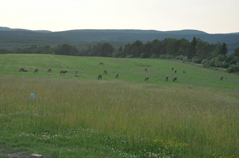 Elk herd on Winslow Hill