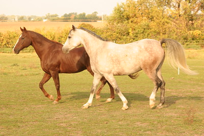 wild horses in pasture feel