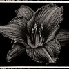 Black Lilly