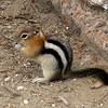 A Chipmunk eating one of Mom's Sunflower Seeds, DILL Pickle, YUM!