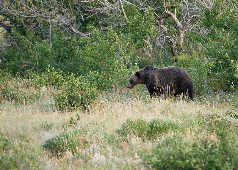 Grizzly eating berries @ about 75 yards.  We decided the berries did not look all that good anyway :)