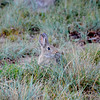Idaho Rabbit