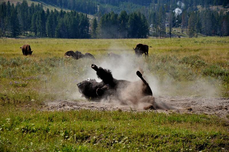 Bison, Yellowstone