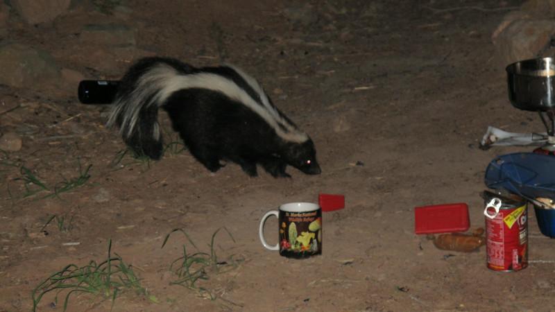 Skunk visit, Uinta NF