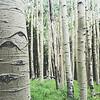 Arizona Birch trees with eyes
