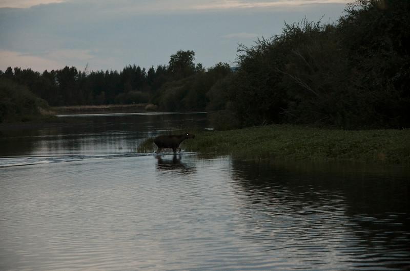 Baby moose running through water