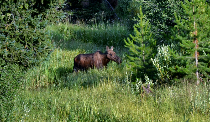Moose and baby en route to Cody, Wyoming