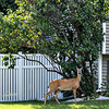 #13 Fence with deer