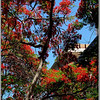 Flamboyant tree (Delonix Regia) also known as Royal Poinciana
