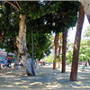 The majestic Indian Laurel trees (Ficus Microcarpa) of Santa Cruz's Avenida de la Constitución
