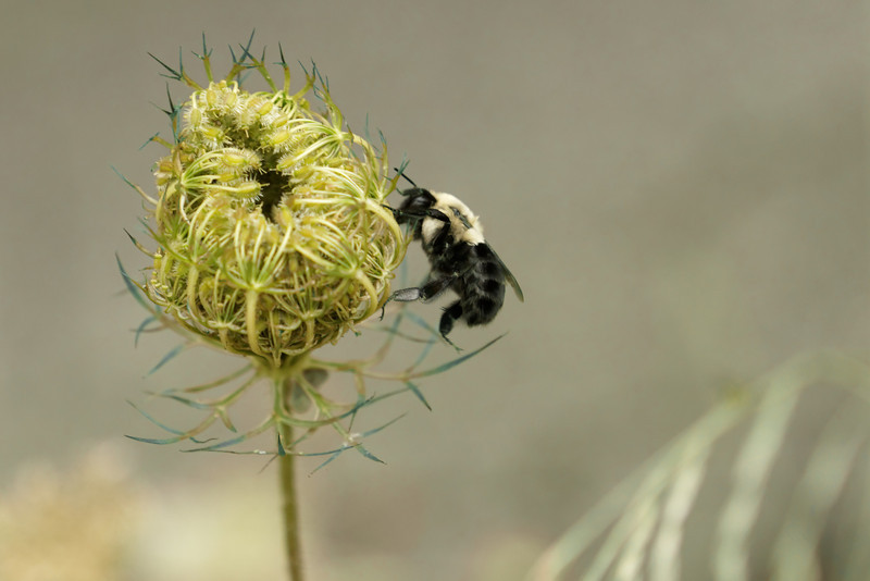 Bee on new Queen Anne's Lace
