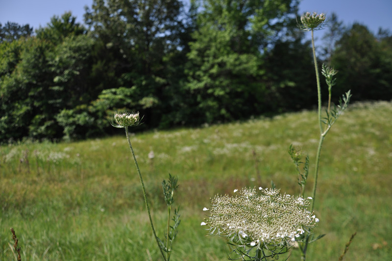 Queen Anne's Lace. Mississippi