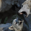 These wolves at the Memphis Zoo are actually playing!