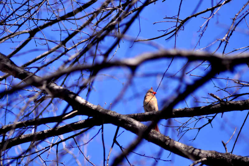 Female cardinal in her realm