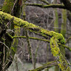 Dead trees are covered with moss earlier this month near Nashville. It reminded me of something from the Pacific Northwest