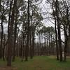 pine forest at Henry Horton State Park South of Nashville