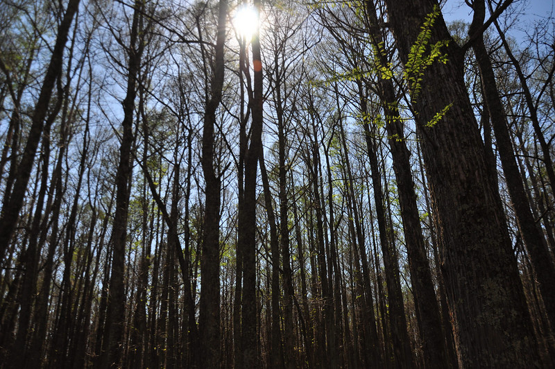Wolf River swamp, Rossville, TN  ( south )
