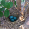 Robin eggs in a crepe myrtle.
