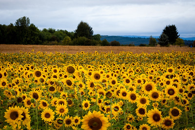 Willamette Valley Sunflowers and Hay Fields near Monmouth, Oregon