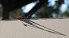 Redwood Cricket