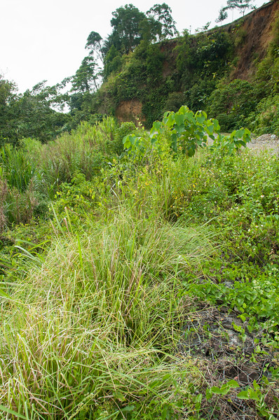 Vetiver hedge planted along gabions at an erosion control project at HIS, Sentani, Papua, December 2012. [Papua Sentani 2012-12 011 Indonesia]