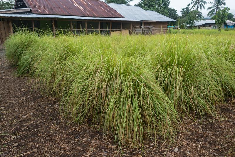 YMP3 Vetiver Grass nursery in the Meyah language area near Manokwari, West Papua, Indonesia, November 2015. [Papua Manokwari 2015-11 132 Indonesia]