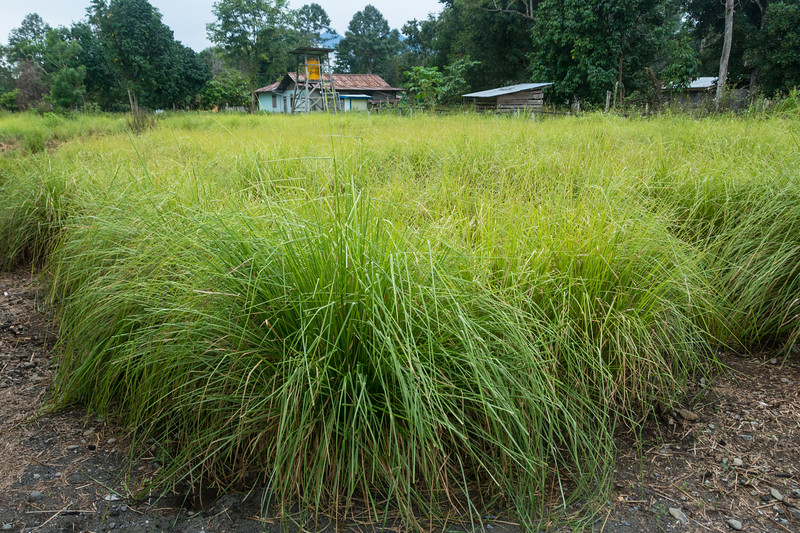 YMP3 Vetiver Grass nursery in the Meyah language area near Manokwari, West Papua, Indonesia, November 2015. [Papua Manokwari 2015-11 129 Indonesia]
