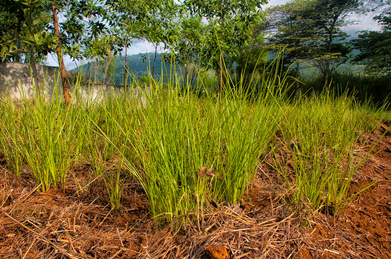 Vetiver Grass nursery, Sentani, Papua, Indonesia, November 2012. Vetiver is a non-invasive grass that has a great many uses: planted sanitation systems, degraded land remediation, erosion control, weaving material and the roots contain a substance for perfume making.