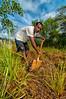 Gerson works in Vetiver Grass nursery, Sentani, Papua, Indonesia, November 2012.