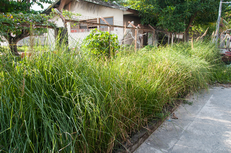 Vetiver Grass, having taken well to the effluent of the Horizontal Sub-Surface Flow wastewater treatment wetland built for YAJASI, Papua. [Papua Sentani 2013-04 008 Indonesia]