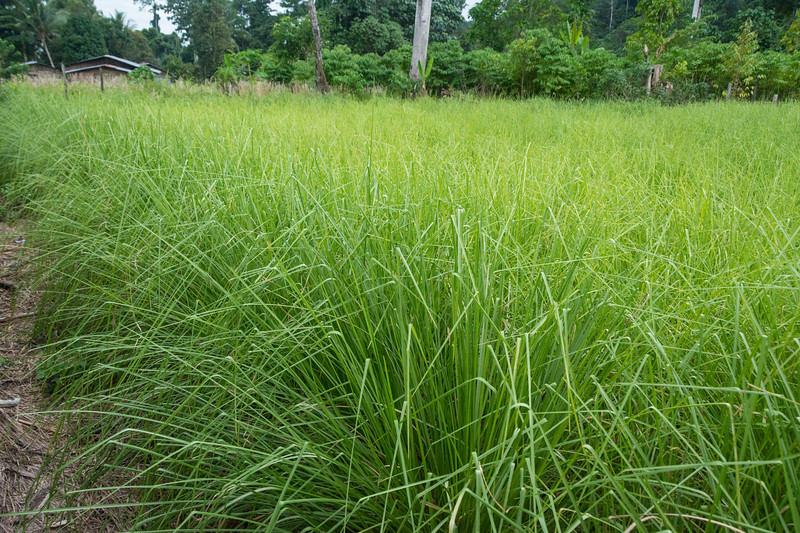 YMP3 Vetiver Grass nursery in the Meyah language area near Manokwari, West Papua, Indonesia, November 2015. [Papua Manokwari 2015-11 167 Indonesia]