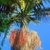 Bangalow Palm
