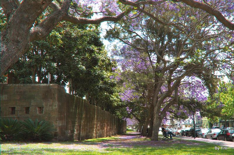 Jacarandas outside Victoria Barracks