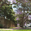 Jacarandas outside Victoria Barracks