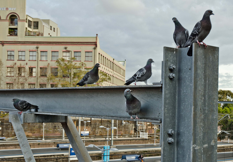 Pigeons with attitude