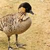 Australian Goose