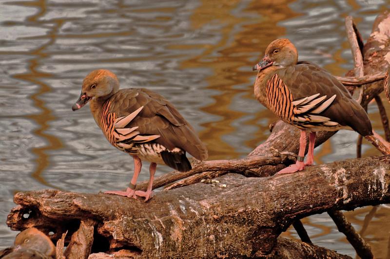 Unknown Ducks