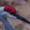 Sandhill Crane - Detail