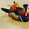 Mandarin Drake II