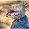 Crested Screamer -- interesting bird.  Google it.