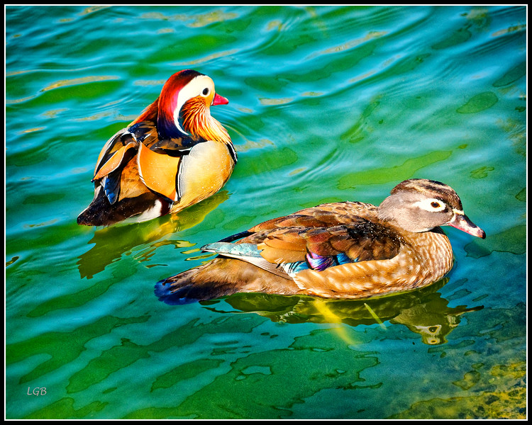 Male and female Mandarins.  Male (Drake) in back.