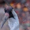 Whooping Crane - Detail