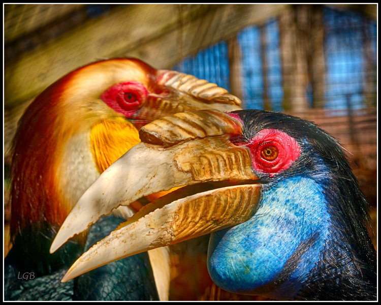 "Hornbill Couple - ""The male behind the female"""