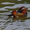 Mandarin Drake I