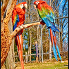 "Scarlet Macaws - ""Did you hear the one about a Blue Jay who walks into a bar?"""