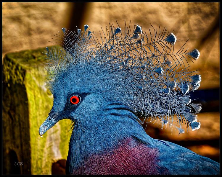 Blue Crowned Pigeon Detail