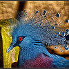 Blue Crowned Pigeon Detail
