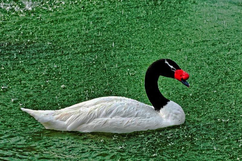 Black Necked Swan - America