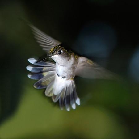 Female Humming Bird