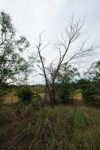 DEAD MESQUITE ON NORTH SIDE<br /> OF BACK PASTURE